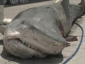 San Antonio Douche Bag Catches 800 Tiger Shark