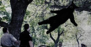 Bear eludes capture by flying away in Colorado