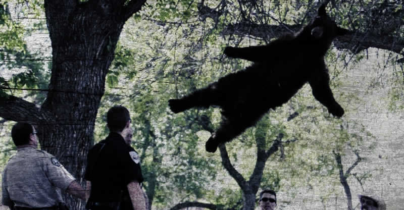 Bear Eludes Capture by Flying Away in Colorado…